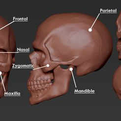 ZBrush Document.jpg Download free OBJ file Skull • 3D printable model, Dynastinae
