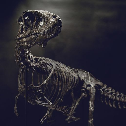 DSC_0325_Cults.jpg Download OBJ file Life size baby T-rex skeleton - Part 09/10 • Object to 3D print, Inhuman_species
