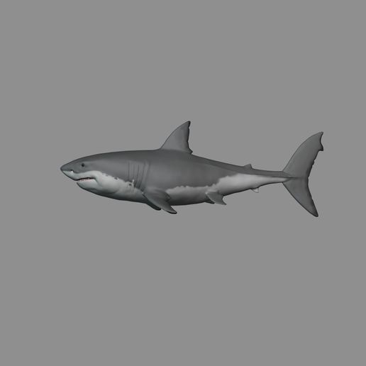 8.jpg Download OBJ file 2 in 1 Great White Shark • 3D printer template, fidad